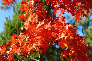 autumn-maple-leaves-912447-print