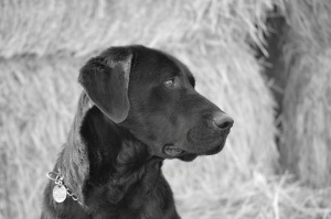 black-labrador-dog-902526-print
